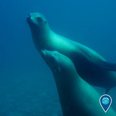 two California sea lions swimming together