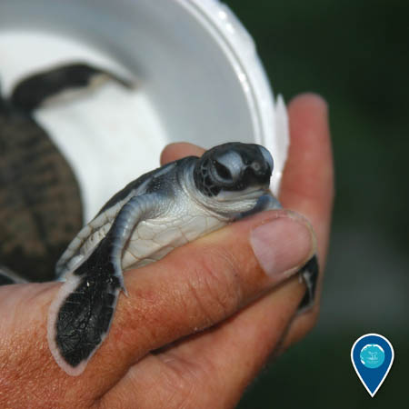 researcher holding a green sea turtle hatchling in hand