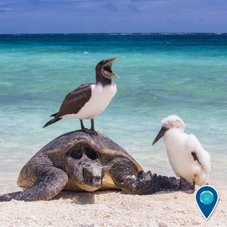 a masked booby squaking while on top of a green sea turtle on the beach