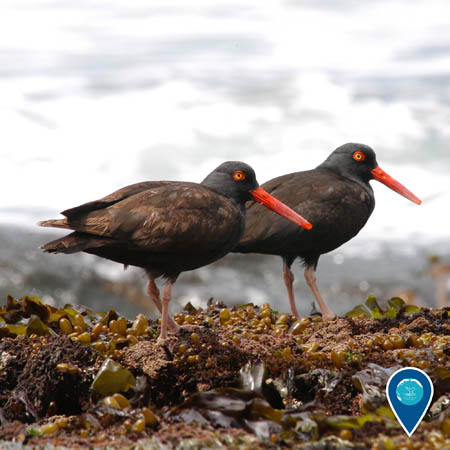 two spotted black oystercatchers on the beach