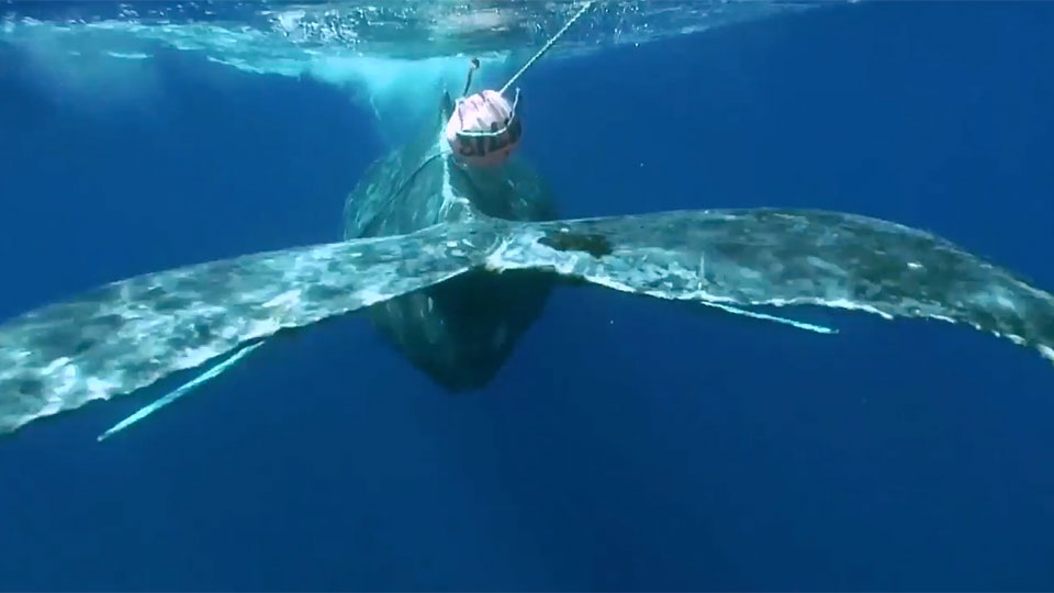 whale tangled in fishing equipment