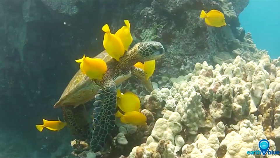 2 turtle being cleaned by yellow fish