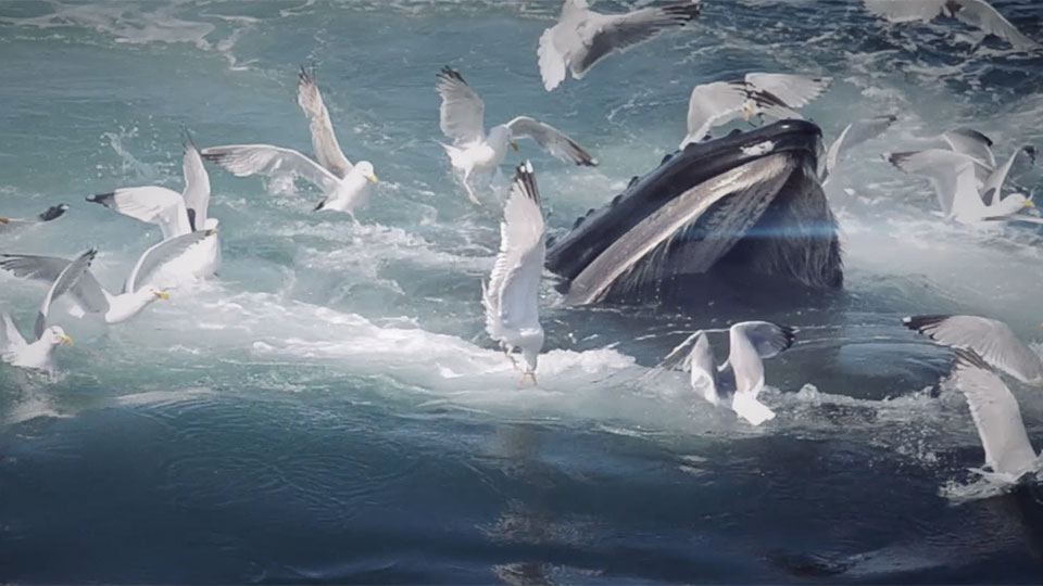 photo of whale feeding and lots of seagulls surrounding it