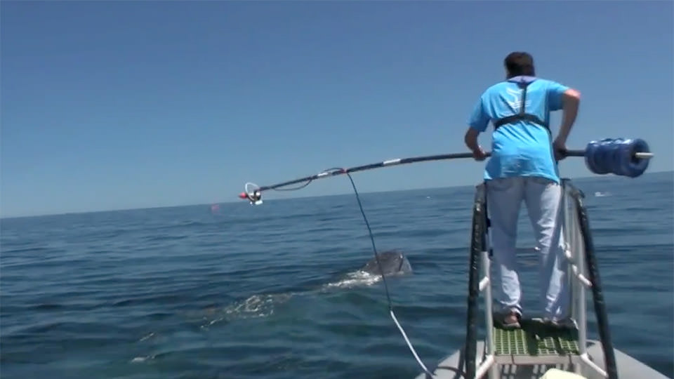 man on a boat about to reach out with a device to tag a breaching whale
