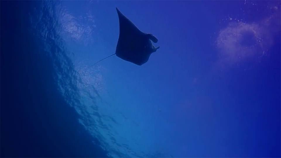 manta ray swimming overhead