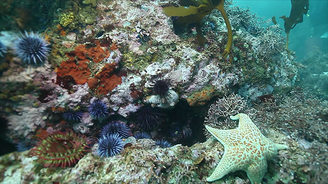 coral reef covered with sea urchins and a sea star