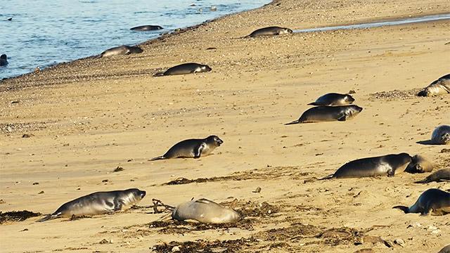many seals on a beach