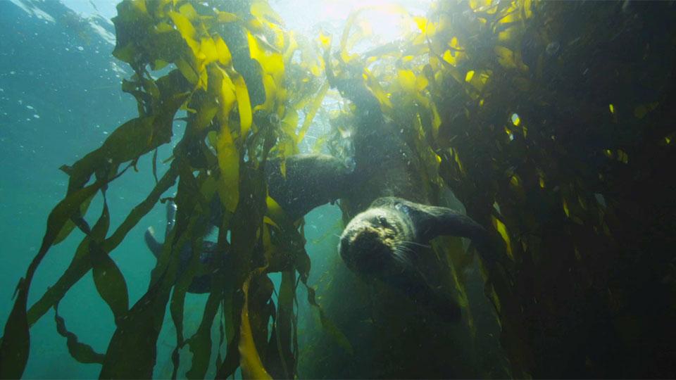 Sea otter swims through kelp