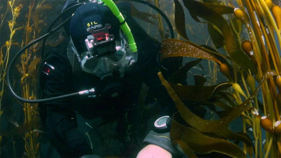A scuba diver swims through kelp