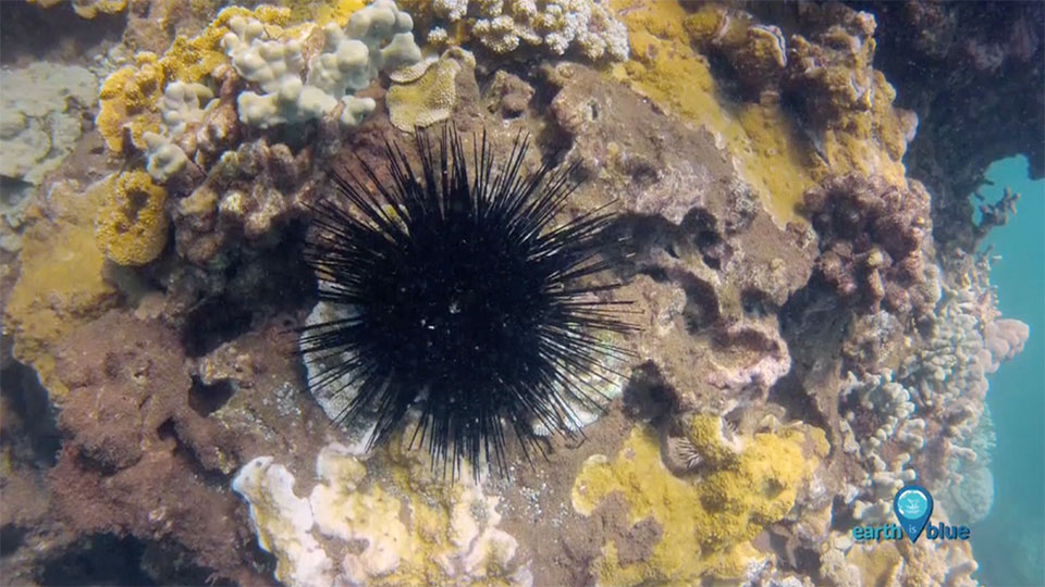 sea urchin underwater
