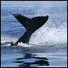 Humpback Whale Photos and Videos