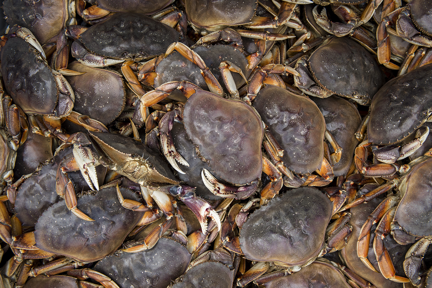 Ocean Acidification Communication Toolkit: Dungeness Crab