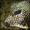 Honeycomb boxfish