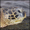 Close up of sea turtle (honu in Hawaiian)