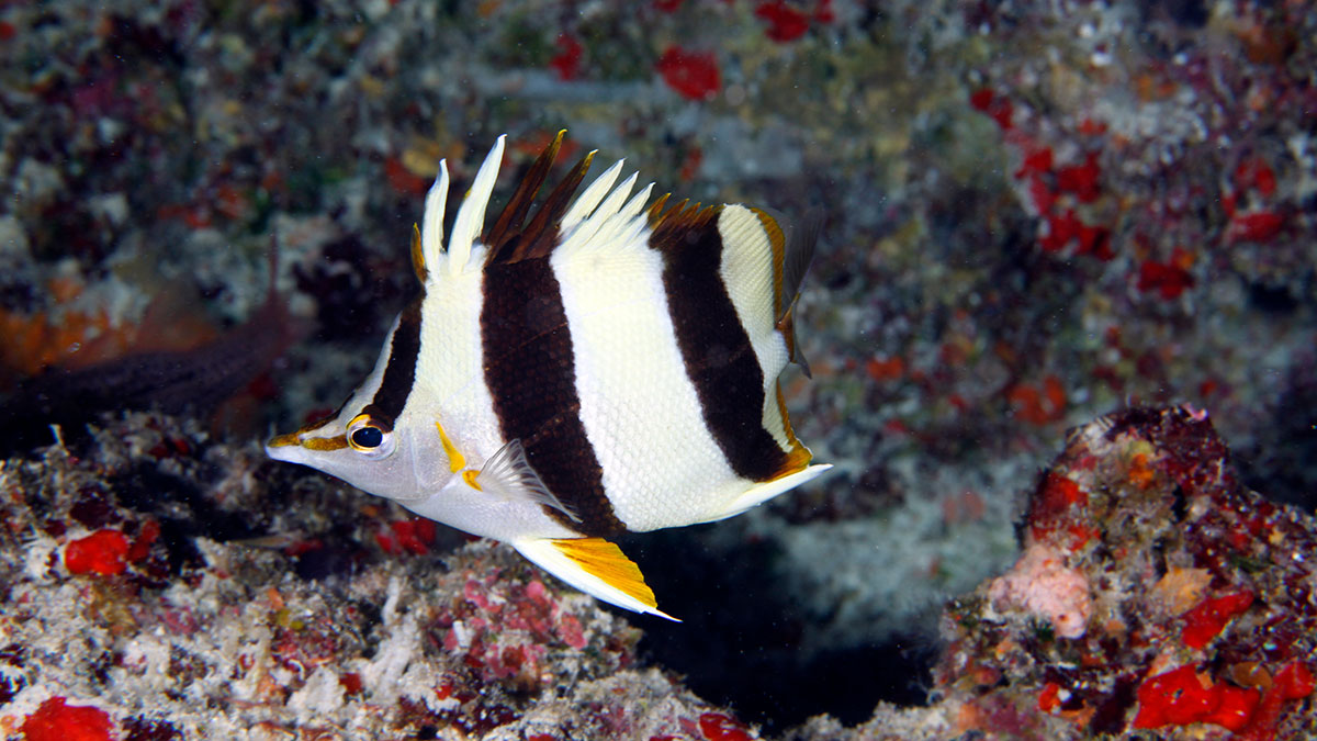 photo of butterflyfish