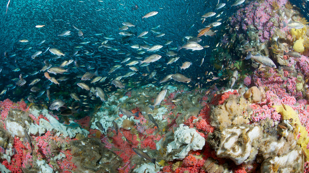 photo of fish and coral on cordell bank