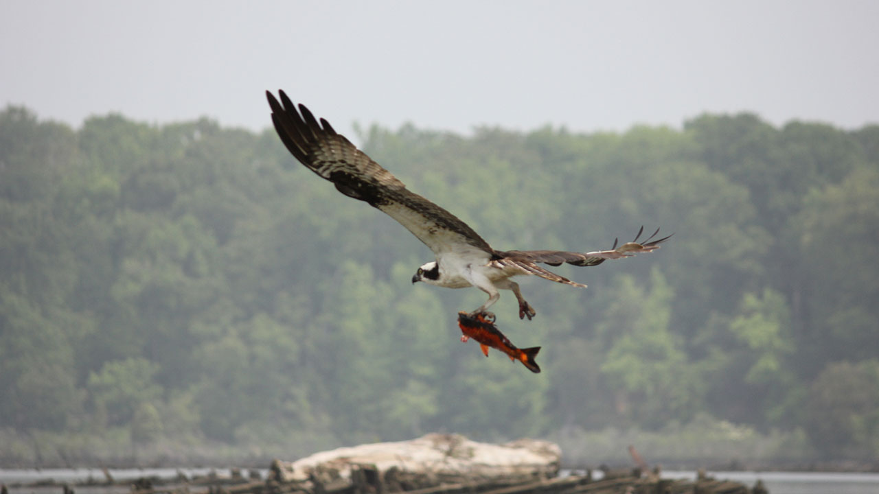 photo of osprey and fish
