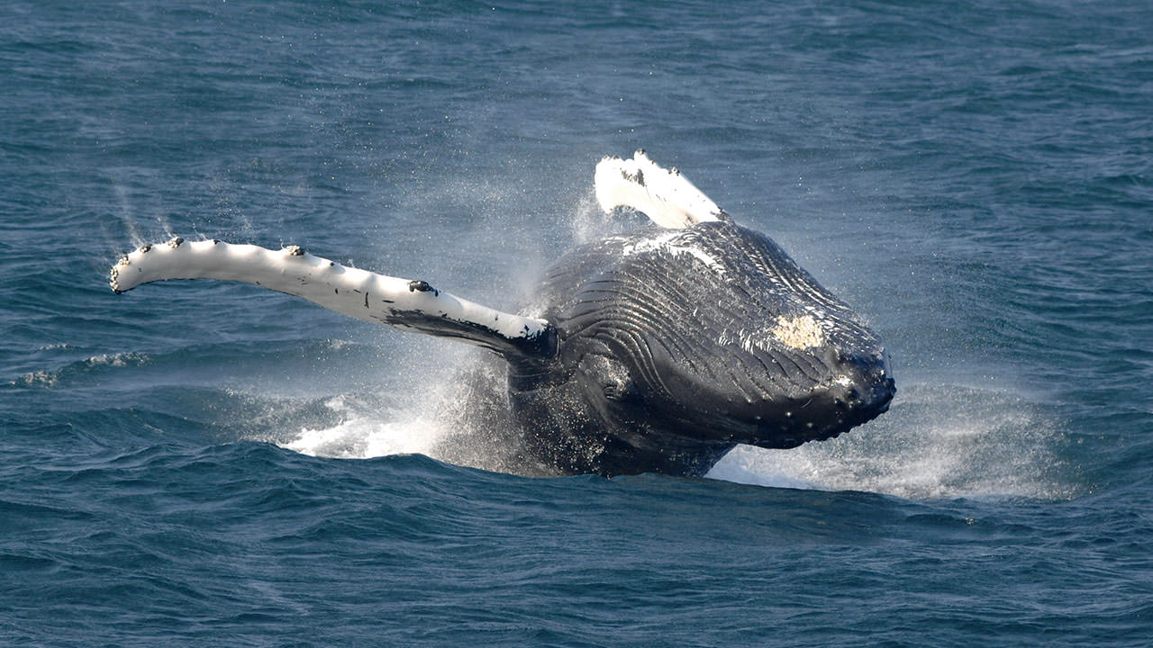 photo of whale breaching