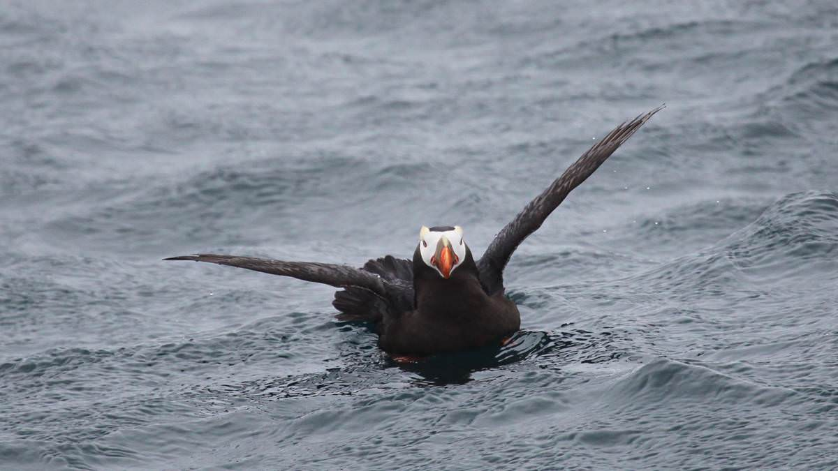 tufted puffin on the water