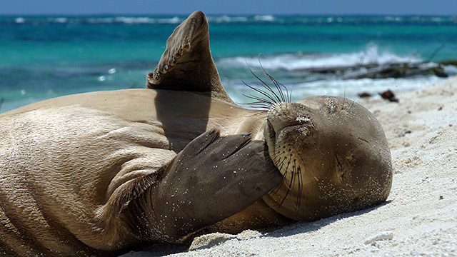 hawaiian monk seal lying on the beach