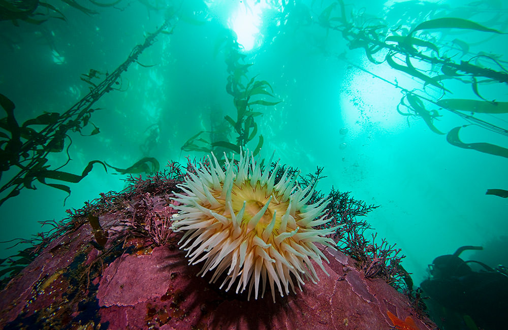 sea anemone in a kelp forest