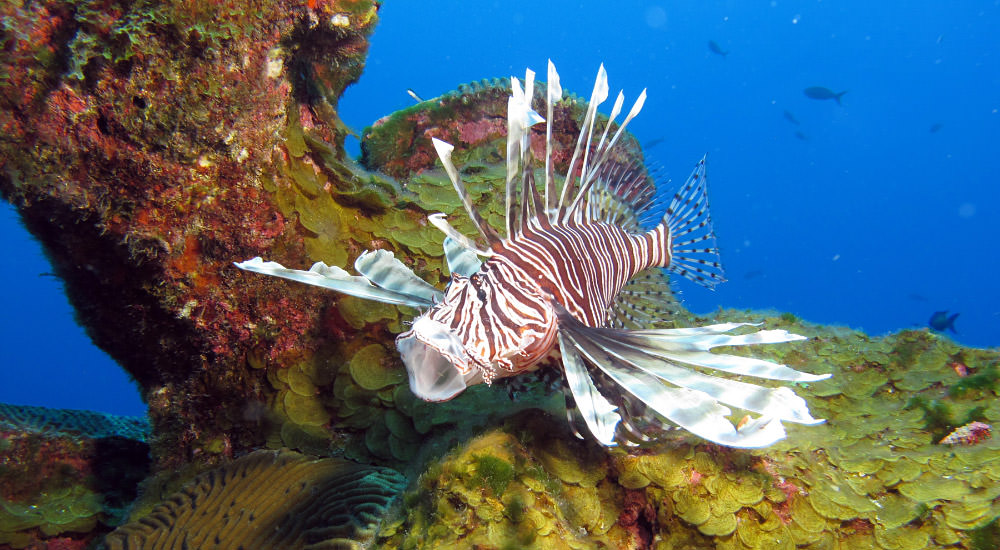 Animated Gif Of A Lionfish Swimming Into Trap And The Closing