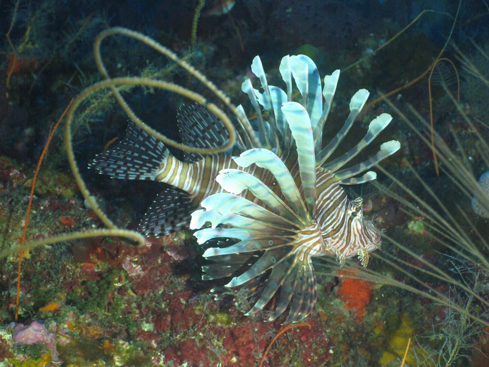 profile view of a lionfish near a coral reef