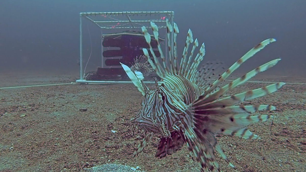 An invasive lionfish in front of a curtain-style trap off