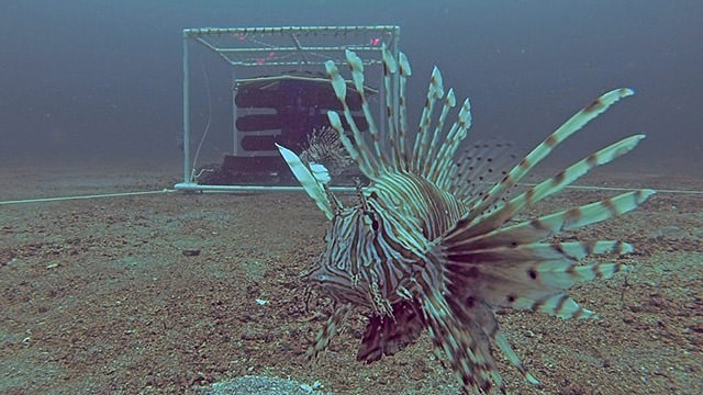 lionfish in front of a curtain-style trap