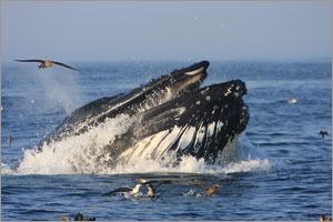 A humpback whale feeds in Stellwagen Bank National Marine Sanctuary.