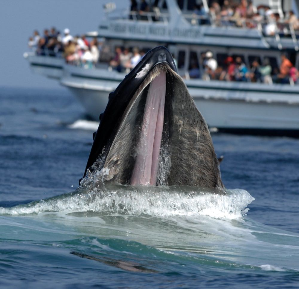 whale breaching with a whale watching boat in the background