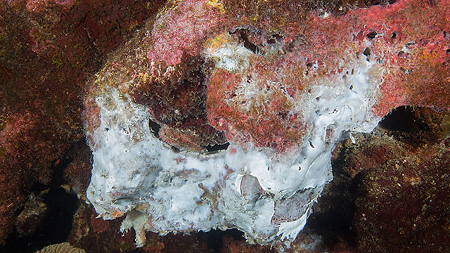 A white mat of unknown material coats a dying sponge