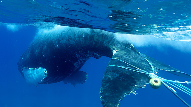 a whale with marine debris wrapped around its tail