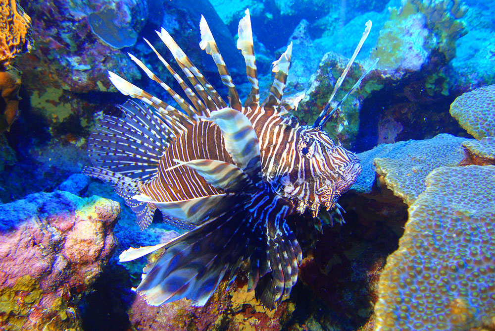 Volunteers Remove Lionfish From Flower Garden Banks National Marine Sanctuary