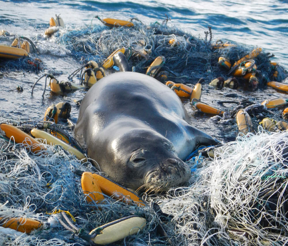 Image of: Marine Mammals Monk Seal Resting On Fishing Nets Marine Debris In The Ocean Marine Debris Throughout The Ocean Puts Endangered Species Noaa Office Of National Marine Sanctuaries Sanctuaries Provide Safe Haven For Americas Endangered Marine