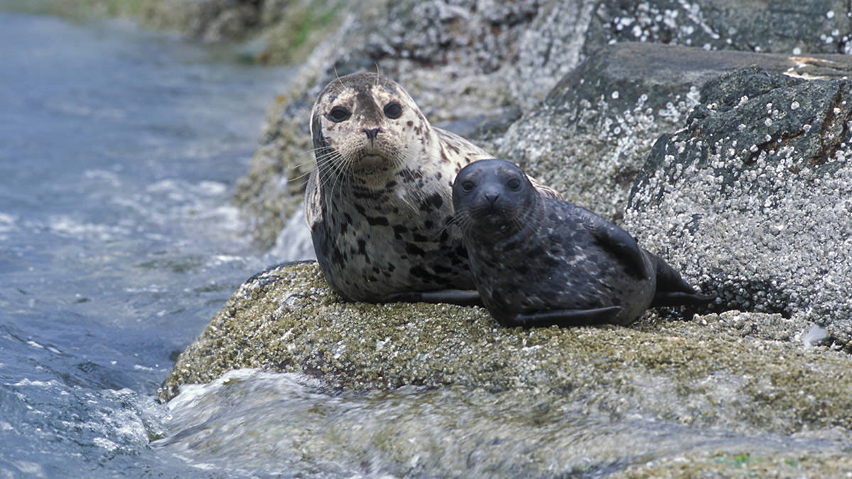 harbor seal and pup resting on a rocky shore