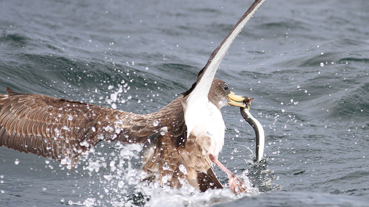 A Cory's shearwater catches a sand lance.
