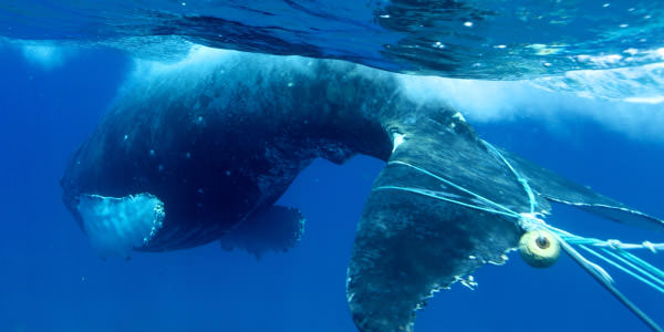 marine debris wrapped around a whale's tail