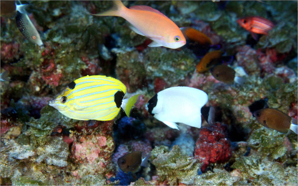 Fish species unique to hawaii dominate deep coral reefs of for Hawaii reef fish