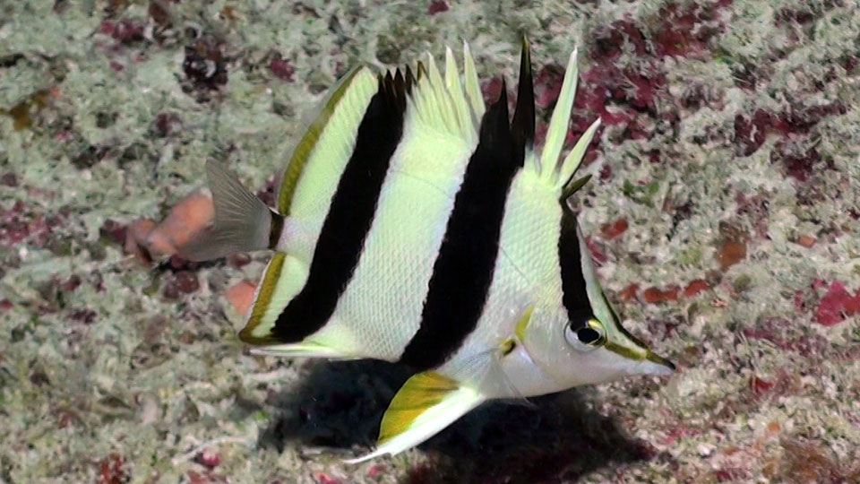 photo of a butterfly fish