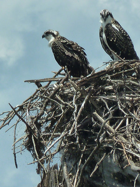 nesting pair of osprey