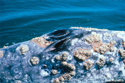 whale and barnacles relationship questions