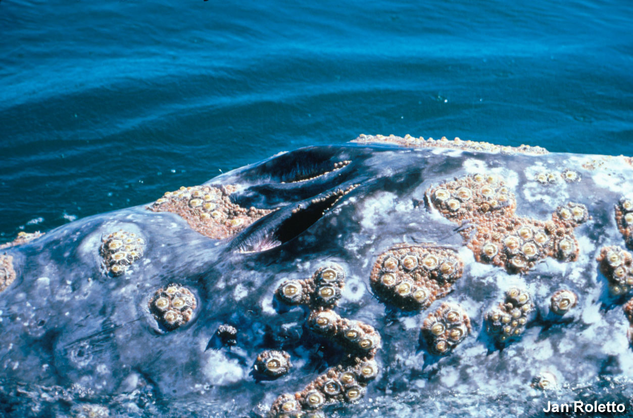 Gulf of the Farallones NMS: Barnacles on a Gray Whale