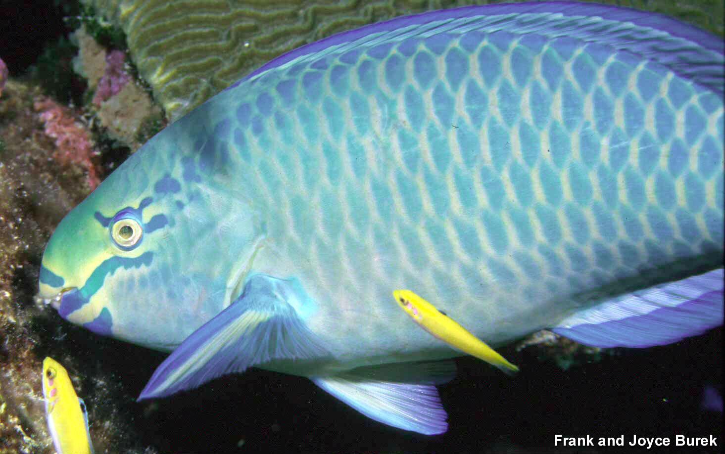Flower Garden Banks NMS: Queen Parrotfish (Scarus vetula)