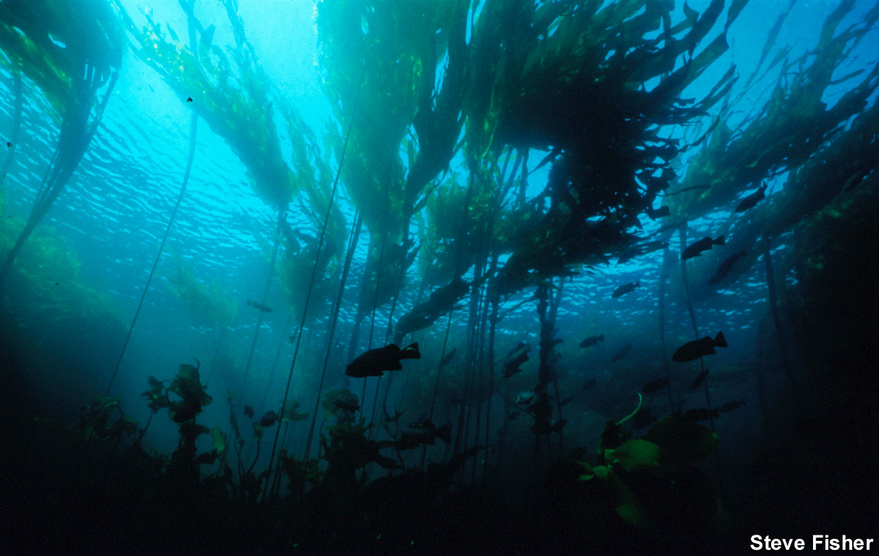 kelp forest Video created by university of california, santa cruz for the course ecosystems of california 2000+ courses from schools like stanford and yale - no application required build career skills in data science, computer science, business, and more.