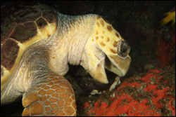 Figure 10.	Loggerhead sea turtle (Caretta caretta) feeds on sponge (Chondrilla sp.) at Stetson Bank. Photo: Joyce and Frank Burek