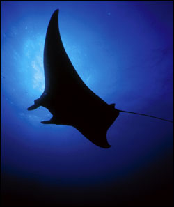 Figure 11.	Manta rays (Manta birostris) are encountered by divers year-round at the sanctuary. Photo: E.L. Hickerson/Flower Garden Banks sanctuary