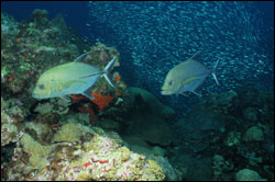 Figure 4.	The coral reef community and its associates include algae, sponges, worms, crabs, lobsters, shellfish, sea urchins, fish, sharks, rays, sea turtles, marine mammals and birds. Large schools of jacks and the presence of large grouper make this reef even more enjoyable for divers. Photo: G.P. Schmahl/Flower Garden Banks sanctuary