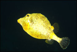 Figure 9.	Golden smooth trunkfish. Photo: Joyce and Frank Burek
