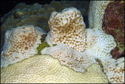 Figure 12.	Bleached star coral, Montastraea cavernosa, photographed during the 2005 bleaching event at the sanctuary.